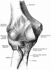 Anterior View Of The Elbow Joint