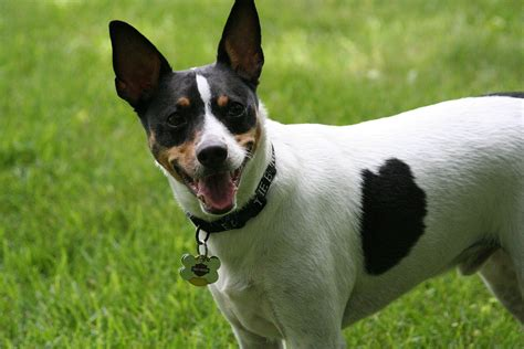 Rat Terrier Wikipedia A Enciclopedia Livre
