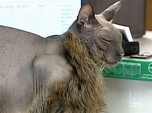 The ugliest cat in the world (7 pics) - Izismile.com