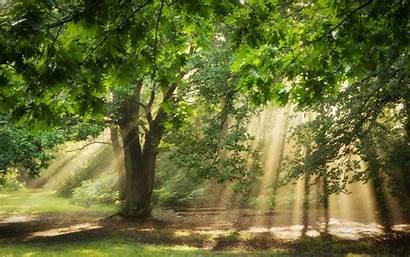 Trees Nature Forest Sunlight Oak Sun Rays