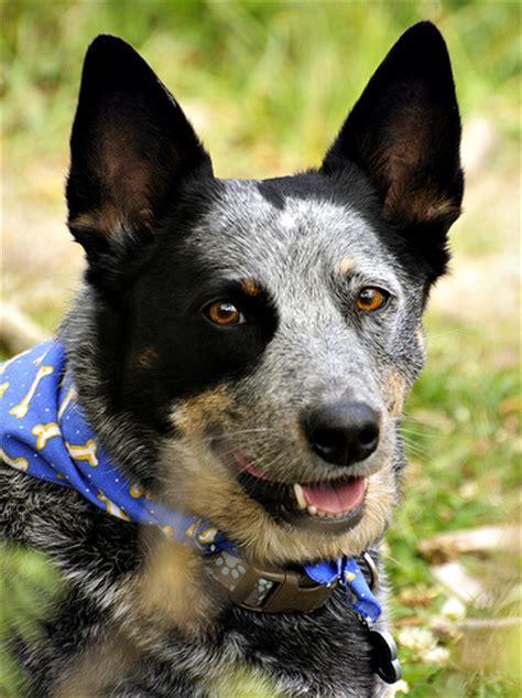 blue tick heeler shedding tick heeler dogs breeds picture