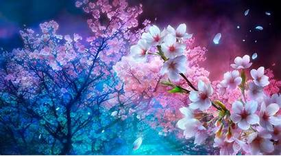 Cherry Blossom Blossoms Anime Background Tree Wallpapers