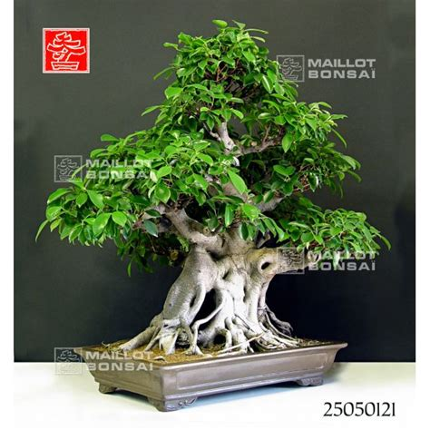 bonsa 239 d int 233 rieur vendu ficus retusa bonsai de maillot bonsa 239 la boutique maillot bonsai