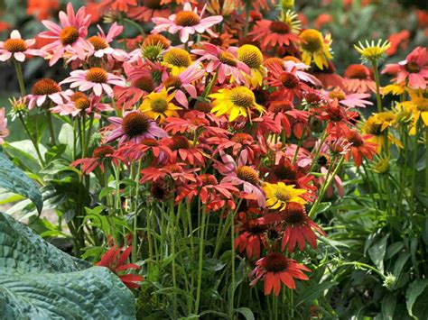 care of coneflowers how to grow and care for coneflowers world of flowering plants