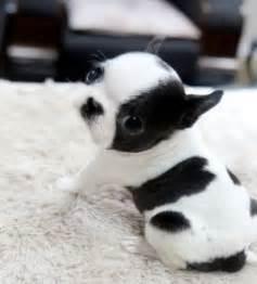 Teacup Boston Terrier Puppies