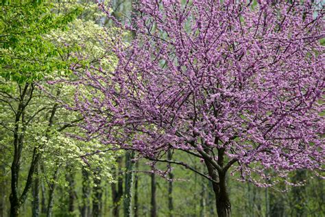 trees with purple flowers in the the best flowering trees in the spring in north carolina point of blue
