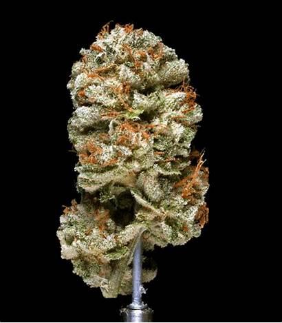 Weed Kush Gifs Cannabis Taste Smell Sweet