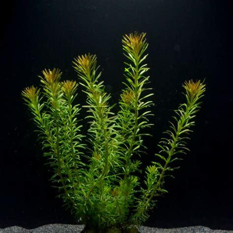rotala wallichii plante d aquarium en pot de diam 232 tre 5cm plantes d aquarium plantes hautes d
