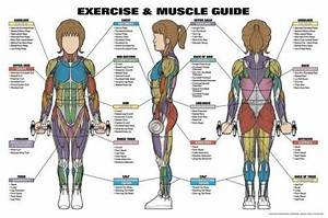 Major Muscles Anatomy Wall Chart Poster Combo  2 Posters