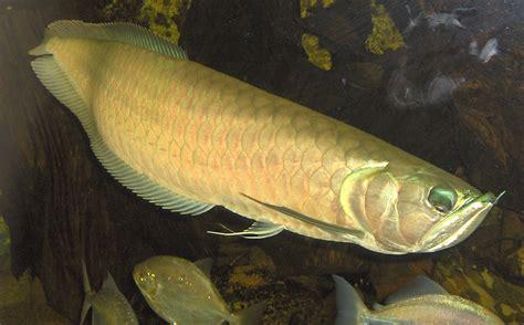 fishy  arowana
