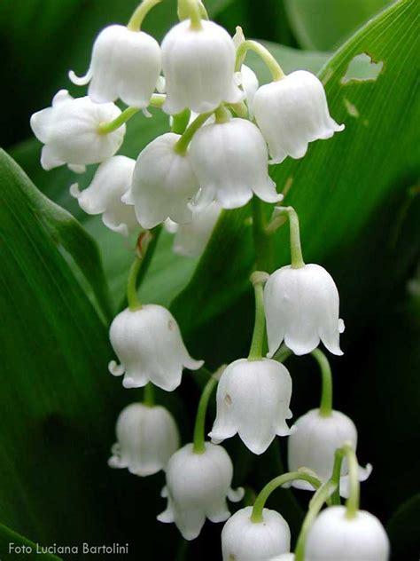fiori di mughetto pulsatilla alpina