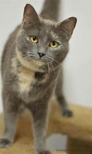Light Grey Kitten Adopt Mason On Grey Tortoiseshell Cat Grey Cats Cats