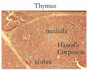 Thymus Gland Histology Labeled