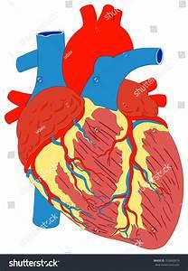 Human Heart Muscle Gross Anatomy Vector Stock Vector