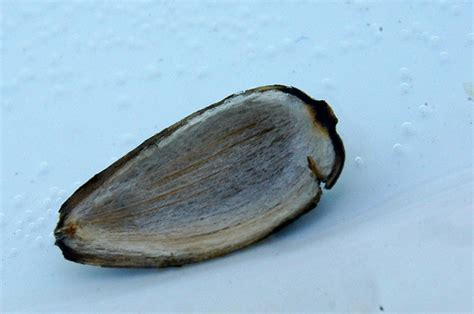 sunflower seed hull flickr photo sharing