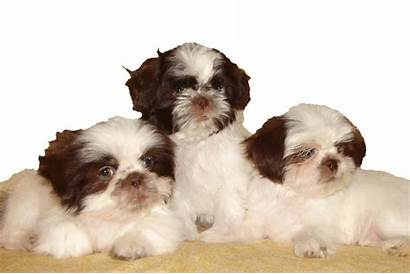 Shih Tzu Puppies Thank