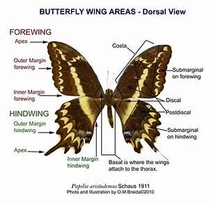Butterfly Wing Labels         Myartteacher Com  Wp