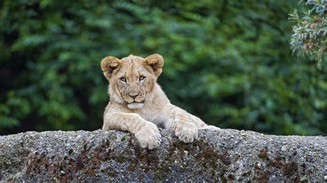 wallpaper lion cute animals  animals