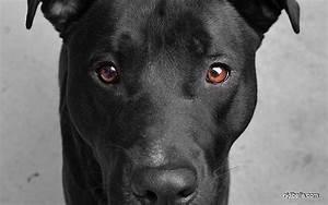 Mojo the Black Lab Pitbull mix | things i LOVE | Pinterest ...