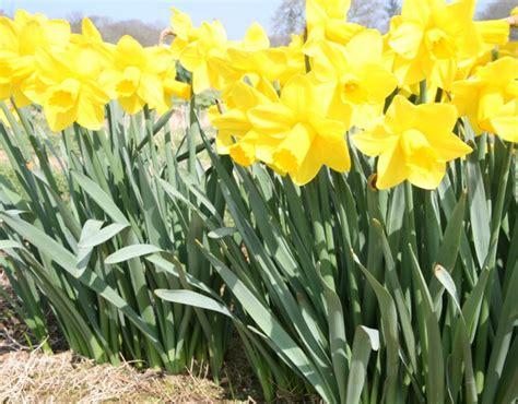 narcissus morab plants oak leaf gardening