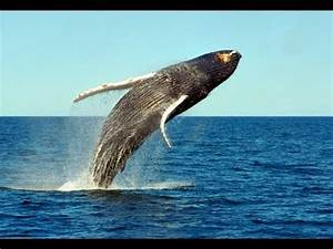 Humpback Whales Jumping out of the Water - YouTube