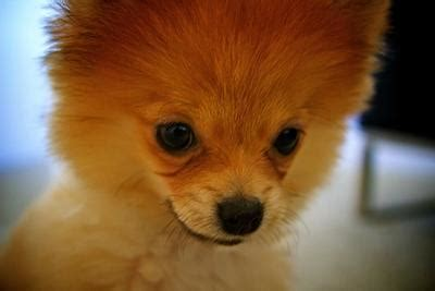 pomeranian dog breed pictures facts petmd