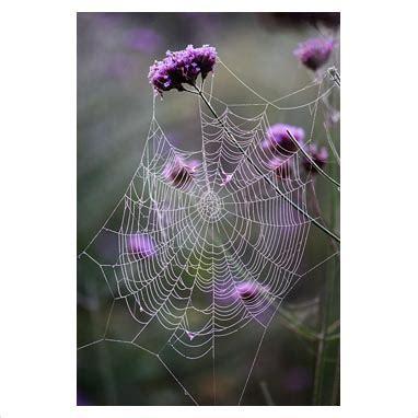gap  garden plant picture library cobweb