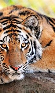 Beautiful Tiger 4k Ultra HD Wallpaper   Background Image ...