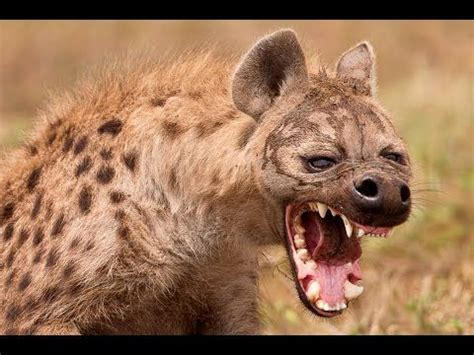 laughing hyena sound effects haunted forest animals