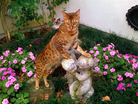 Bengal Cat Wikipedia