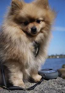 1000+ ideas about Pomeranian Chihuahua on Pinterest ...
