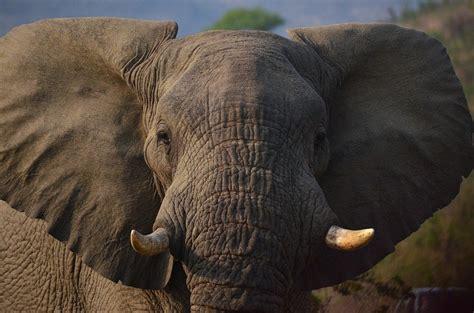 12096 professional photographs of animals elefante il meraviglioso mammifero che rischia l estinzione