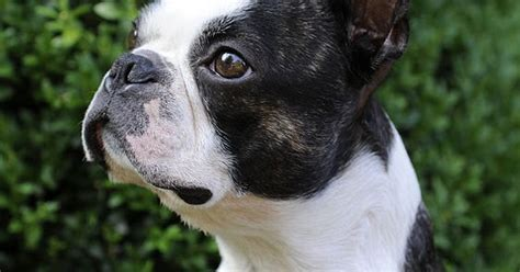 Musings Of A Biologist And Dog Lover Mismark Case Study Boston Terrier