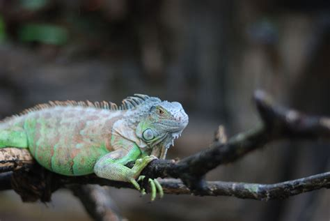 iguana pet what to expect from a pet iguana