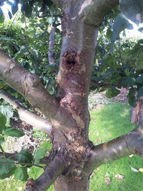 apfelbaum krankheiten stamm apfelbaum krank mein sch 246 ner garten forum