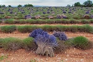 Verholzten Lavendel Schneiden : lavendel ist verbl ht was folgt ~ Lizthompson.info Haus und Dekorationen