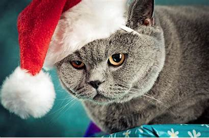 Cat Hat British Cats Grumpy Wallpapers Animals