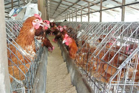 chicken farm chicken farm stink raised at national assembly