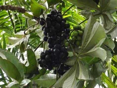 17 Best Images About Tropical Permaculture Plants On
