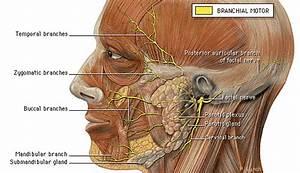 Notez On Nursing      The Facial Nerve