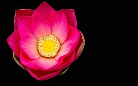pink lotus flower macro black background wallpaper