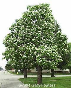 trees of wisconsin catalpa speciosa northern catalpa