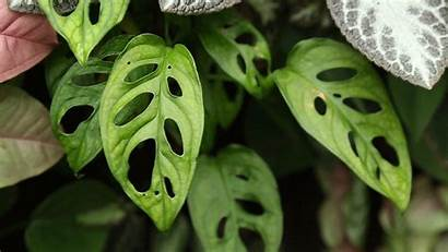 Plants Monstera Holes Leaves Them Gifs Ripped