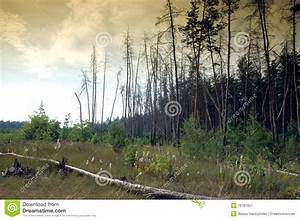 Dark Pine Forest Royalty Free Stock Photography - Image ...