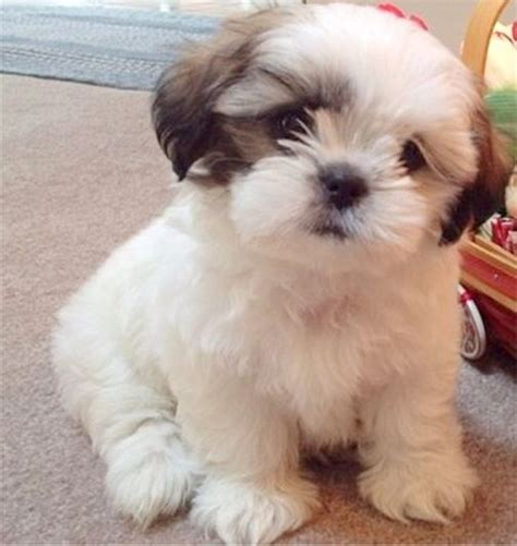 tiny non shedding breeds small non shedding breeds pictures