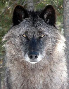 wolves images   wolf pictures spirit