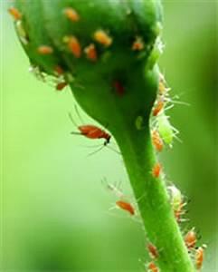 Schmierseife Gegen Blattläuse : blattl use an rosen bek mpfen ~ Lizthompson.info Haus und Dekorationen