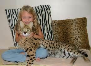 savanna cat cat cat breeds pets