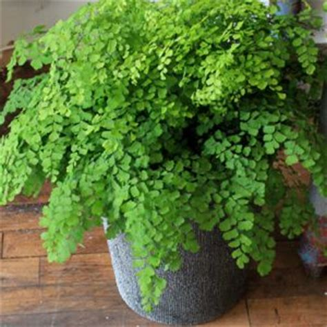 low light ferns maidenhair fern in the bathroom low light ok moisure humidity i have been looking everywhere