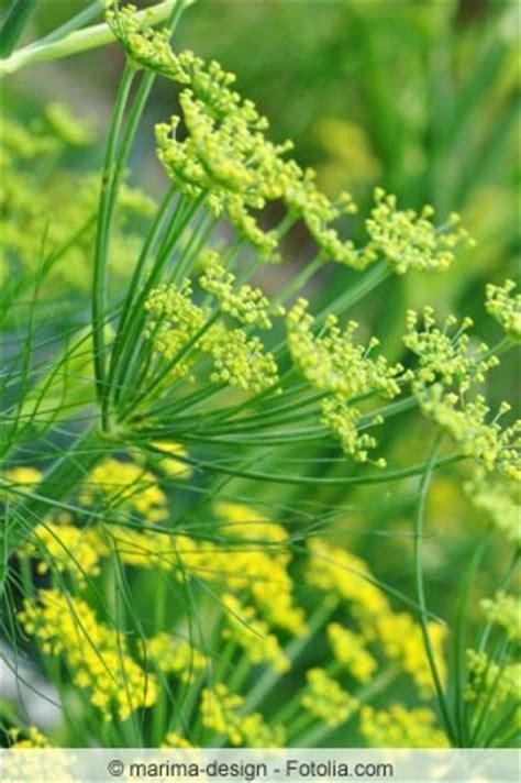 Garten Fenchel Pflanzen by Fenchel Anbauen Aussaat Und Ernte Knollenfenchel